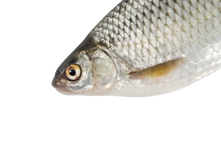 River fish, roach on white isolated background photo
