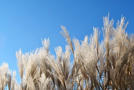 Fluffy panicles of grass on a background of bright blue sky