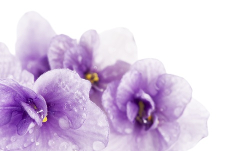 Floral background of violets with water droplets close up  Stock Photo