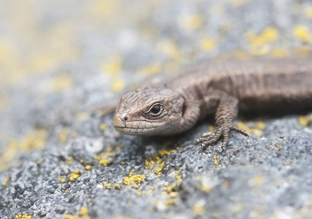 A sand lizard on a granite stone in the nature