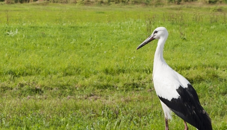 White stork  lat  Ciconia ciconia  on the meadow Stock Photo