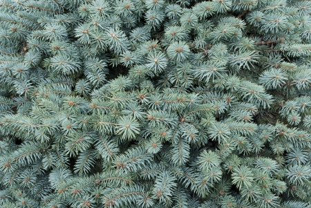 Blue- green  branches of a fur-tree as background Stock Photo
