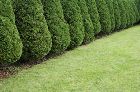 Hedge of cypress trees near the lawn