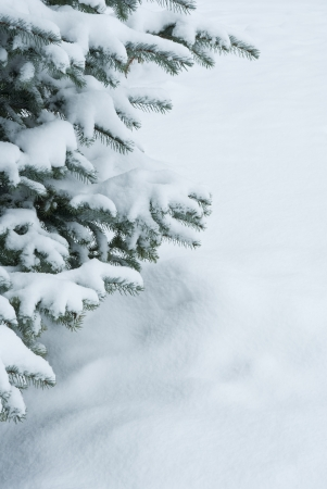 Winter branches of blue spruce covered with fluffy snow photo