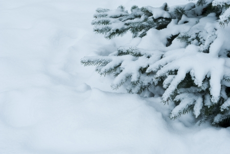 Winter branches of blue spruce covered with fluffy snow