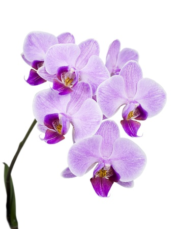 Light purple orchid isolated on white background