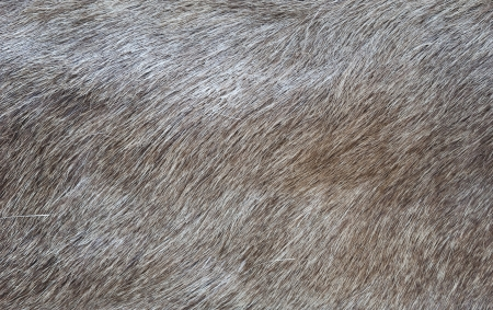 pelt: Texture of a skin of a wild boar as background