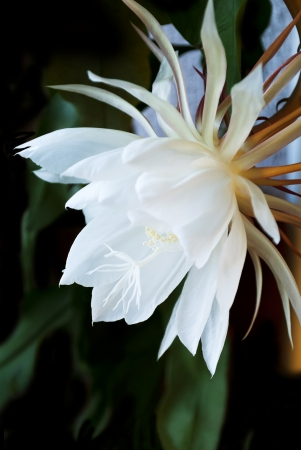 Night Blooming Cereus  Also known as Queen of the Night  Flower