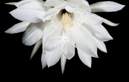 Night Blooming Cereus  Also known as Queen of the Night  Flower on black isolated