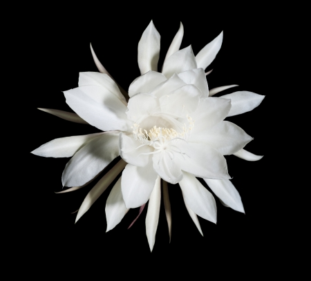 cereus: Night Blooming Cereus  Also known as Queen of the Night  Flower on black isolated