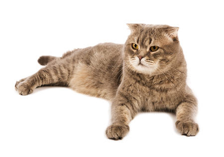 Adult  Scottish Fold cat lies on white isolated