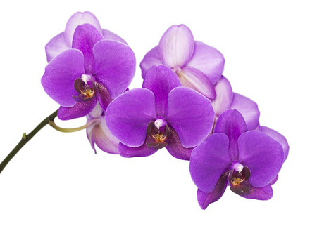 Dark purple orchid on white  isolated  Stock Photo