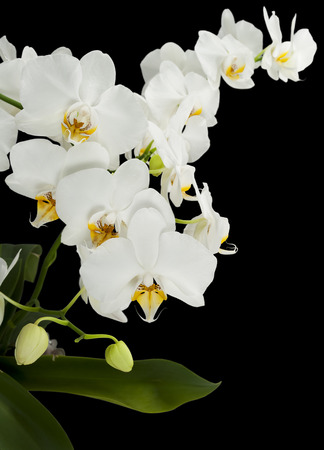 subtlety: White orchids with yellow middles isolated on black background