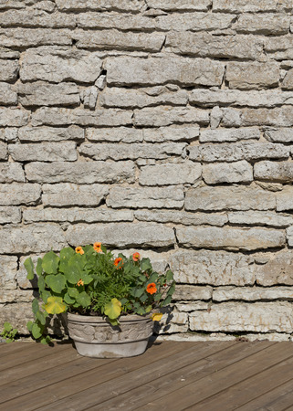Nasturtium flowers in a stone flower pot on a timber brown floor against a  limestone wall as background bright sunny day Stock Photo