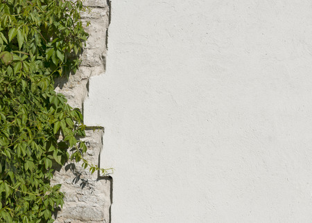 The old vintage limestone and white plastered wall which overgrew wild grapes in bright sunny day as background Stock Photo