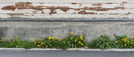 Wooden wall of the old house with the blossoming dandelions and the asphalt road before it as background.