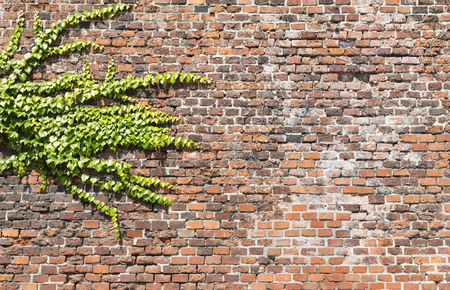 Background of old vintage brick wall and green liana , texture
