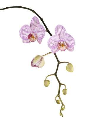 Pink orchid with buds isolated on white background