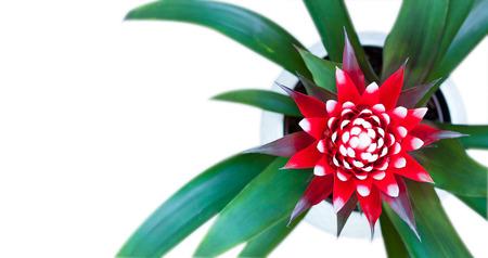 guzmania: Guzmania flower blossom