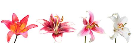 lirio blanco: blanco, púrpura y rosa flor de lirio, conjunto de las cuatro imágenes aisladas