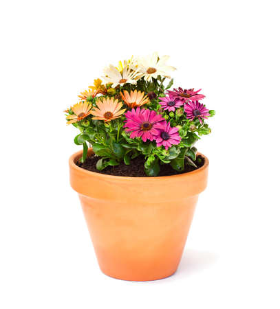 Colorful  cape daisy flowers in a ceramic flowerpot isolated