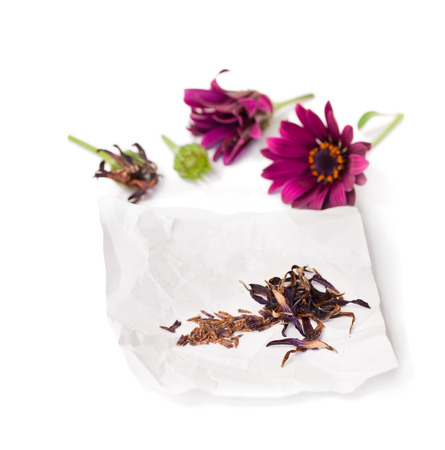 Collecting  seeds of purple cape daysy flowers