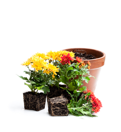 Colorful  chrysanthemum flowers ready for planting and flowerpot isolated  Stock Photo