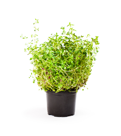 thyme  herbs in pot isolated on white background