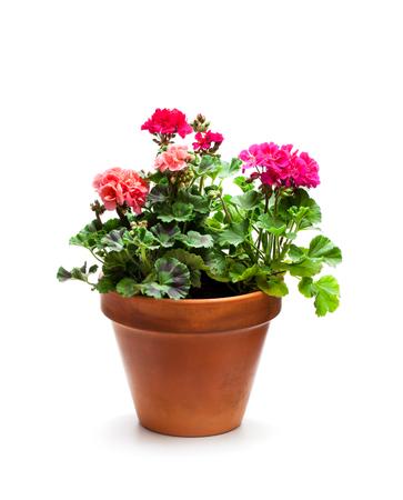 Colorful  Geranium flower in ceramic flowerpot isolated on white