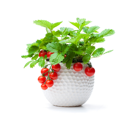 Strawberry  plant with cherry tomatoes in small pot isolated on white. Concept of GMO plant.