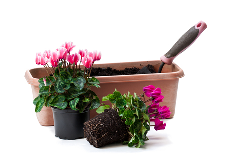Colorful  cyclamen flowers ready for planting isolated on white  Stock Photo