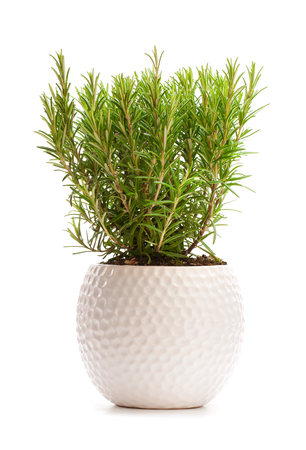 rosemary  bus in the flower pot isolated on white background