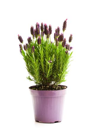Lavendelstruik in bloempot op wit wordt geïsoleerd dat Stockfoto