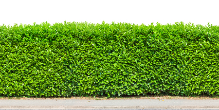Tall  hedge with gravel road isolated on white