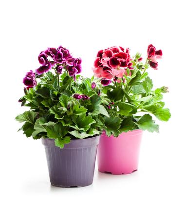 Colorful  Pelargonium flowers in flowerpot isolated on white Imagens