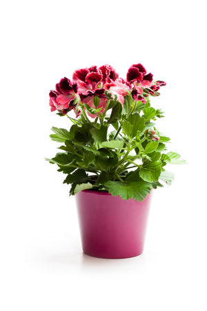 Colorful  Pelargonium flower in flowerpot isolated on white