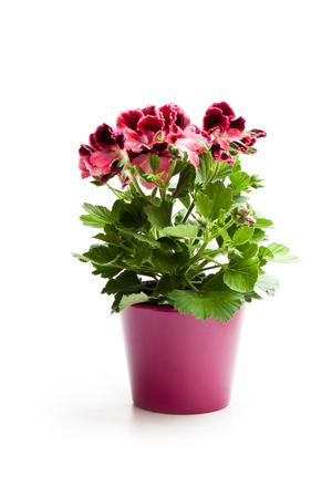 Kleurrijke Pelargonium-bloem in bloempot die op wit wordt geïsoleerd
