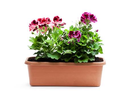 Colorful  Pelargonium flowers in rectangular flowerpot isolated on white Imagens