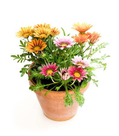 Colorful  Gazania plants in the flowerpot isolated on white Banque d'images