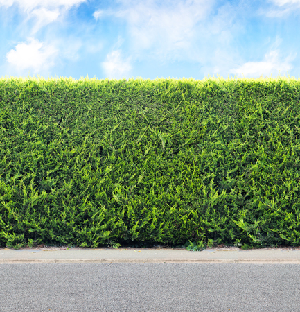 Green  hedge from evergreen plants with sky and gravel road. Seamless endless pattern