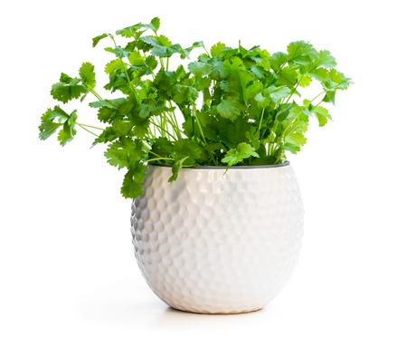 Plante de coriandre dans un pot isolé sur blanc