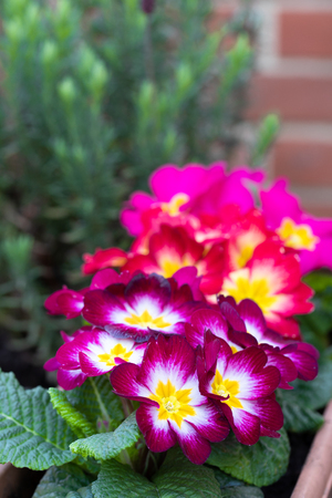 Colorful  Primulas in flower pot outdoor