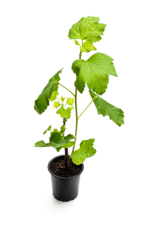Baby  red currant plant in black pot isolated on white