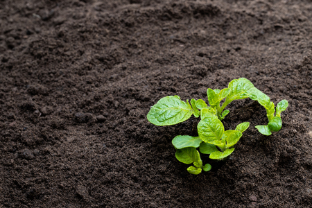Potato  sprouts in soil isolated on white