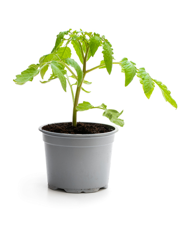 Tomato plant in a pot isolated on a white