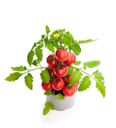 Planta de tomate fresca de cosecha propia con tomates. Concepto de gran cosecha