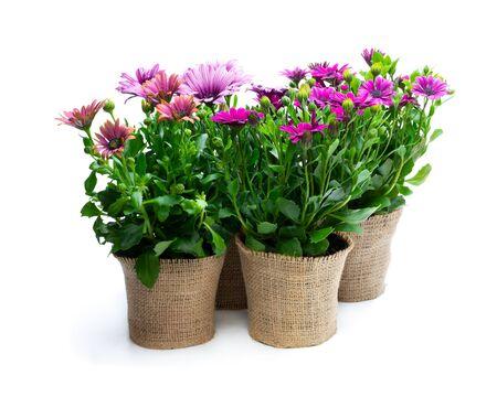 Gruppo di fiori colorati a margherita in piccoli vasi decorati con tela di sacco isolata su bianco