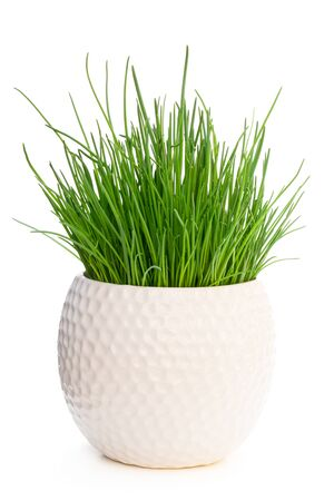 Chives  plant in pot isolated on white
