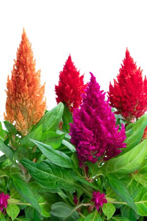 Set of  colorful celosia plant isolated on white