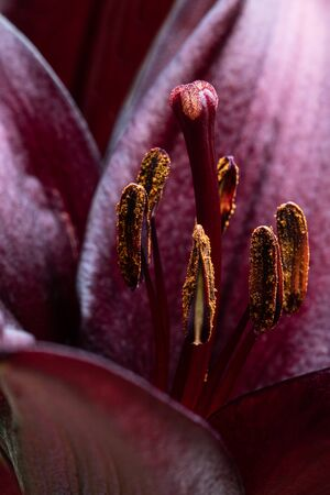 Macro  image of beautiful Black lily flower Imagens